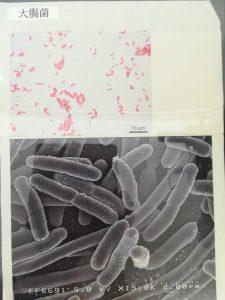 大腸菌ちゃん